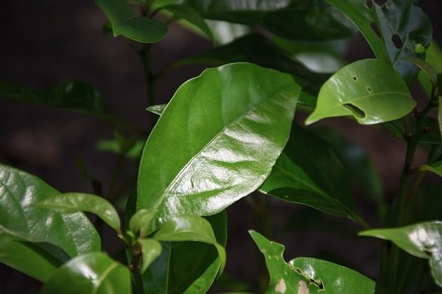 planta cânfora